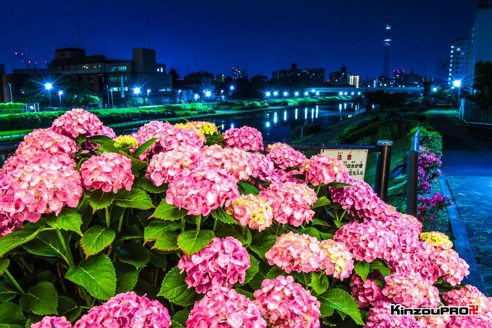 亀戸旧中川にかかるふれあい橋から見るスカイツリーとあじさいの夜景 2