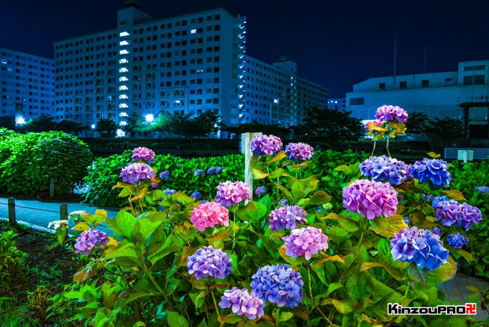 亀戸旧中川にかかるふれあい橋から見るスカイツリーとあじさいの夜景 1